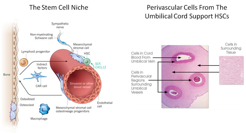 expansion of HSCs